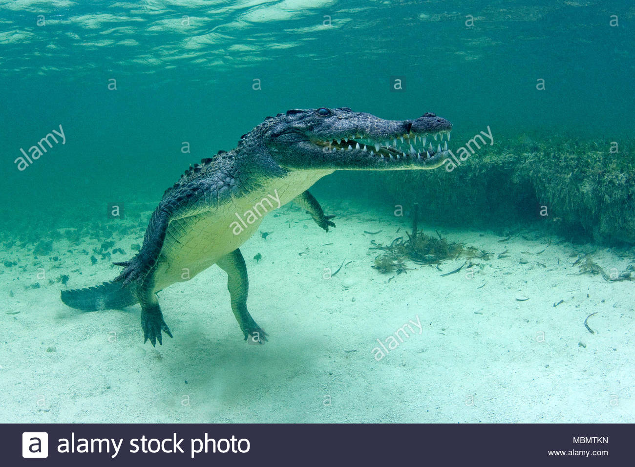 American crocodile (Crocodylus acutus), Banco Chinchorro, Quintana Roo, Mexico - Stock Image