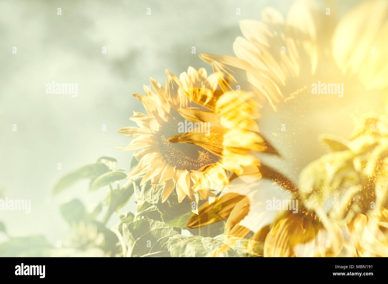 Abstract sunflower with blurred golden sunburst as background. Stock Photo