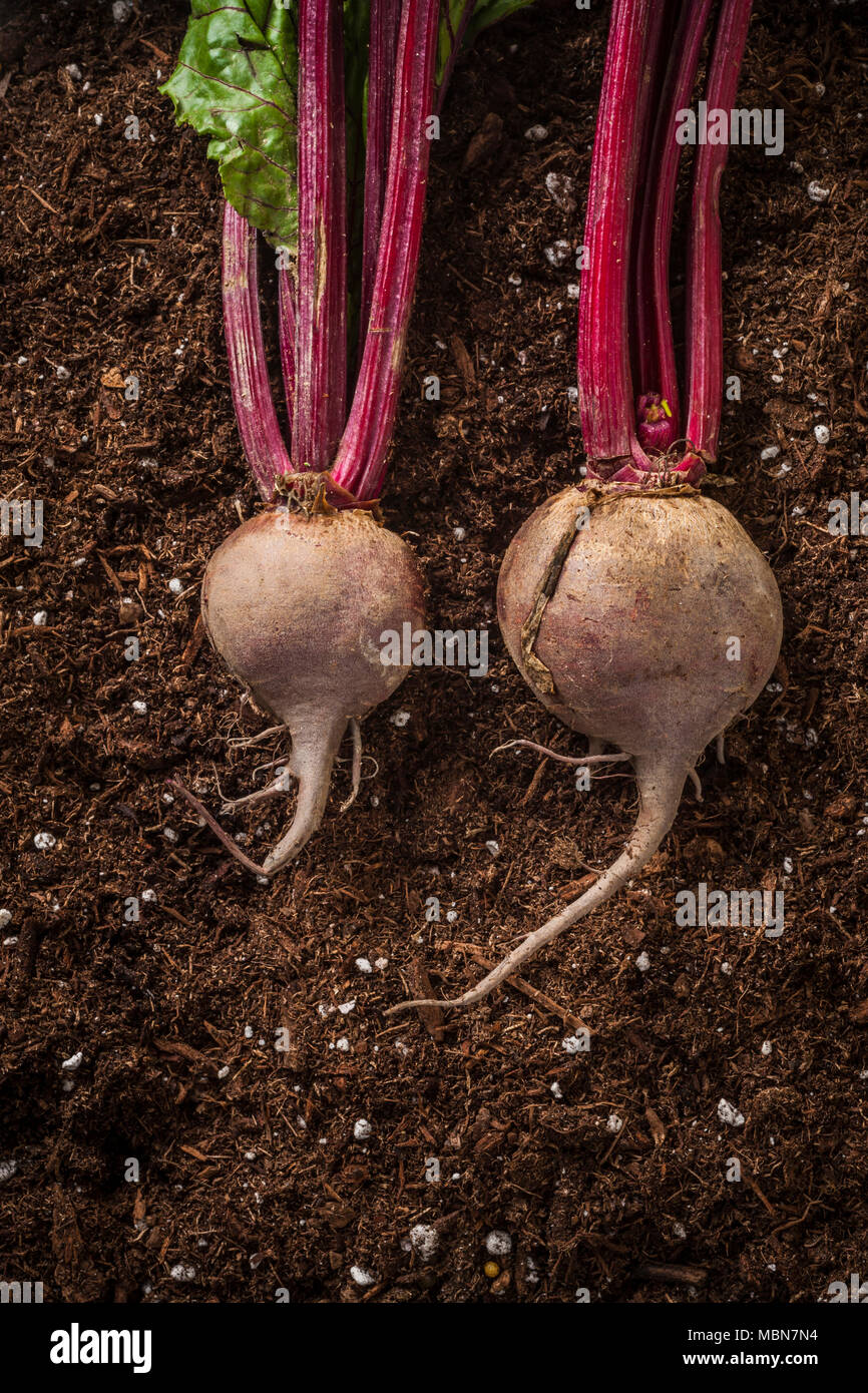 Studio still lifes of beets on a rough wooden background. - Stock Image