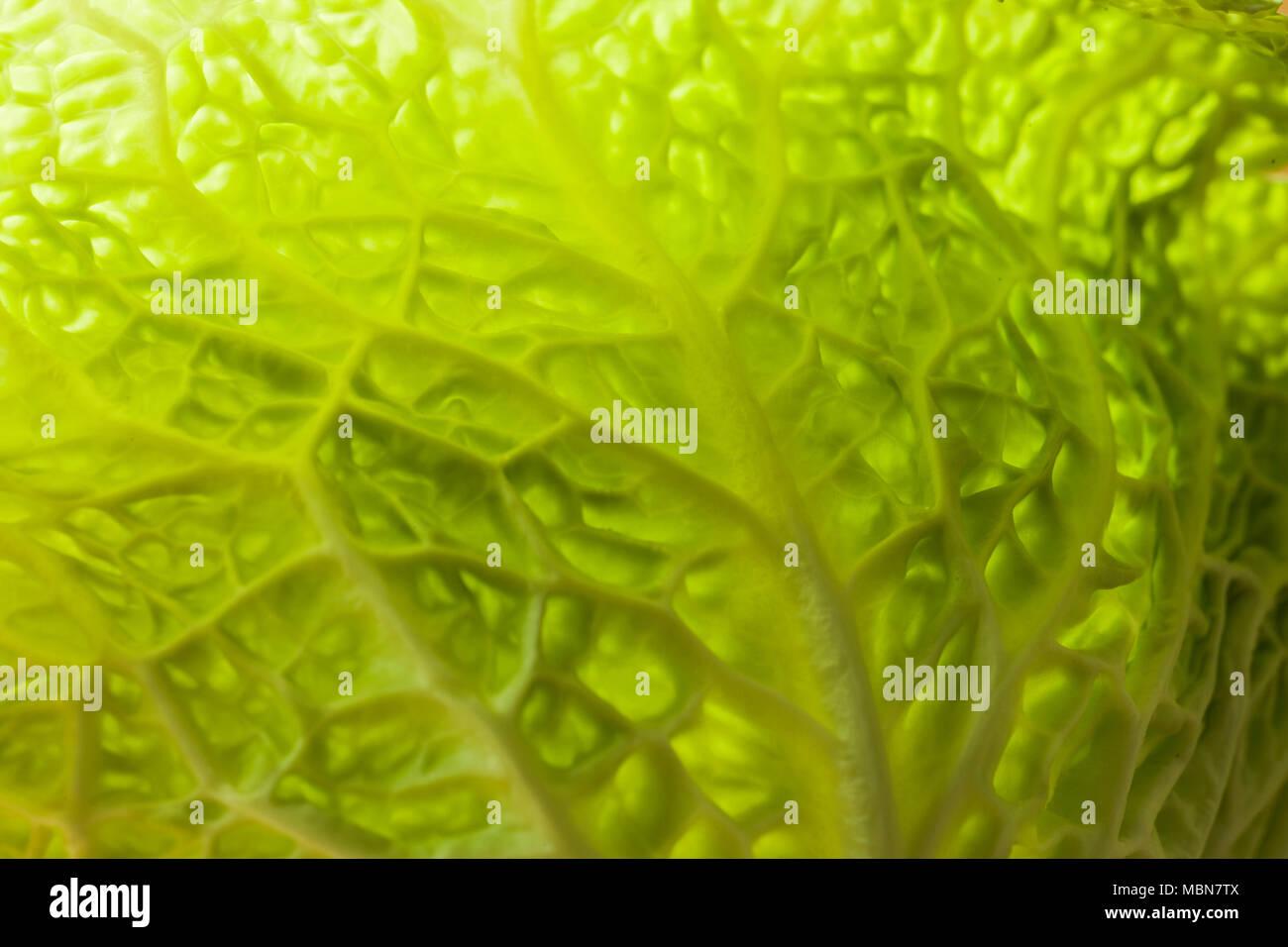 Studio still life closeup of a white cabbage. - Stock Image