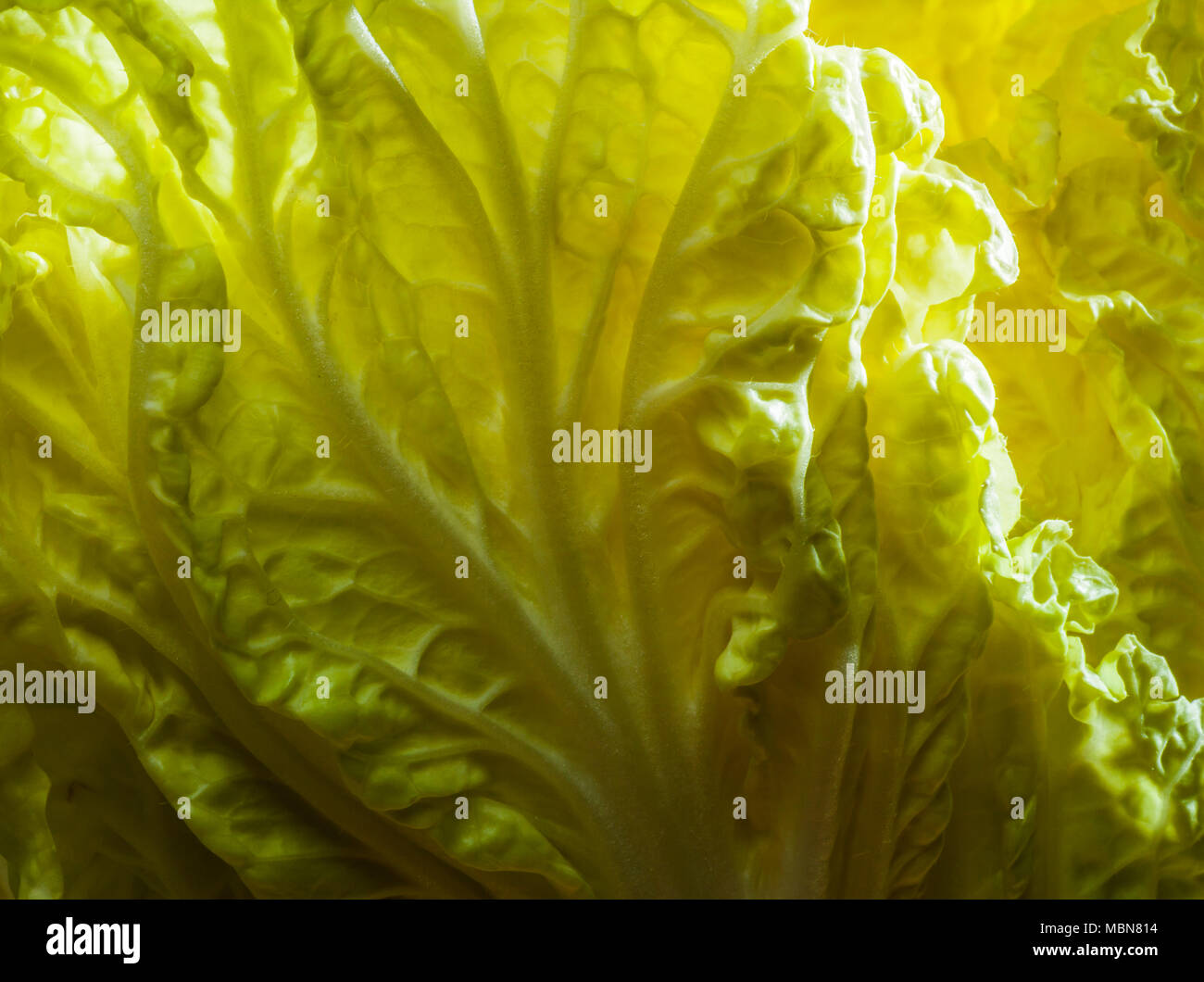 Studio still lifes of a head of Chinese head cabbage. - Stock Image