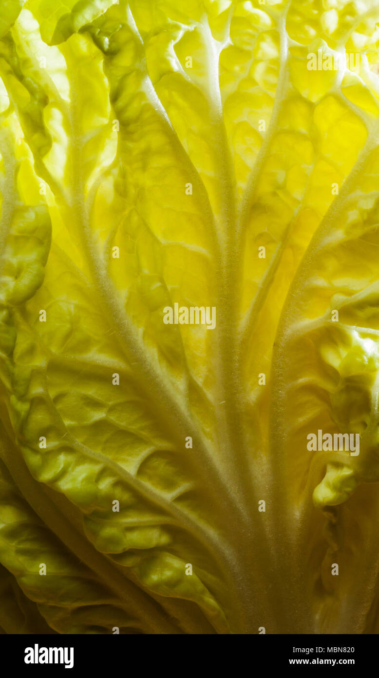 Studio still lifes of a head of Chinese cabbage. - Stock Image