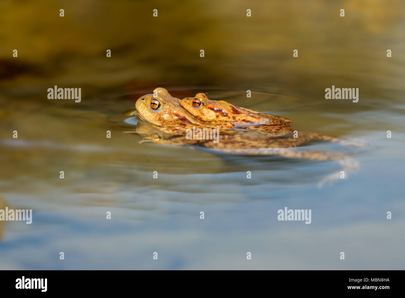 The Common Toad, European Toad, Toad - Bufo Bufo, is an amphibian found throughout most of Europe, in the western part of North Asia, and in a small p - Stock Image
