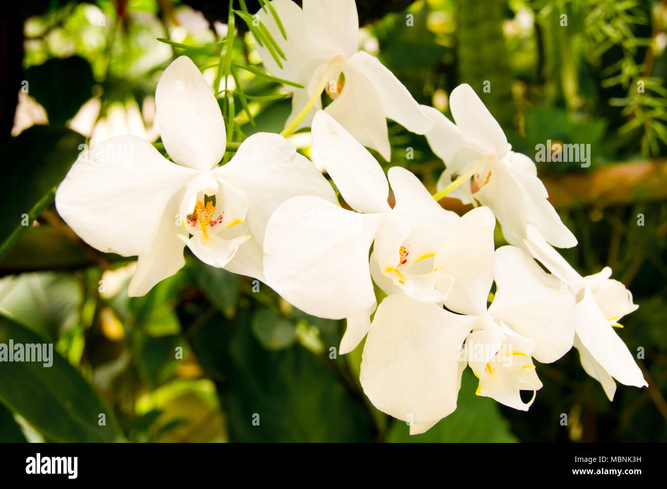 White Orchid Found In The Tropics Of The Philippine Islands During