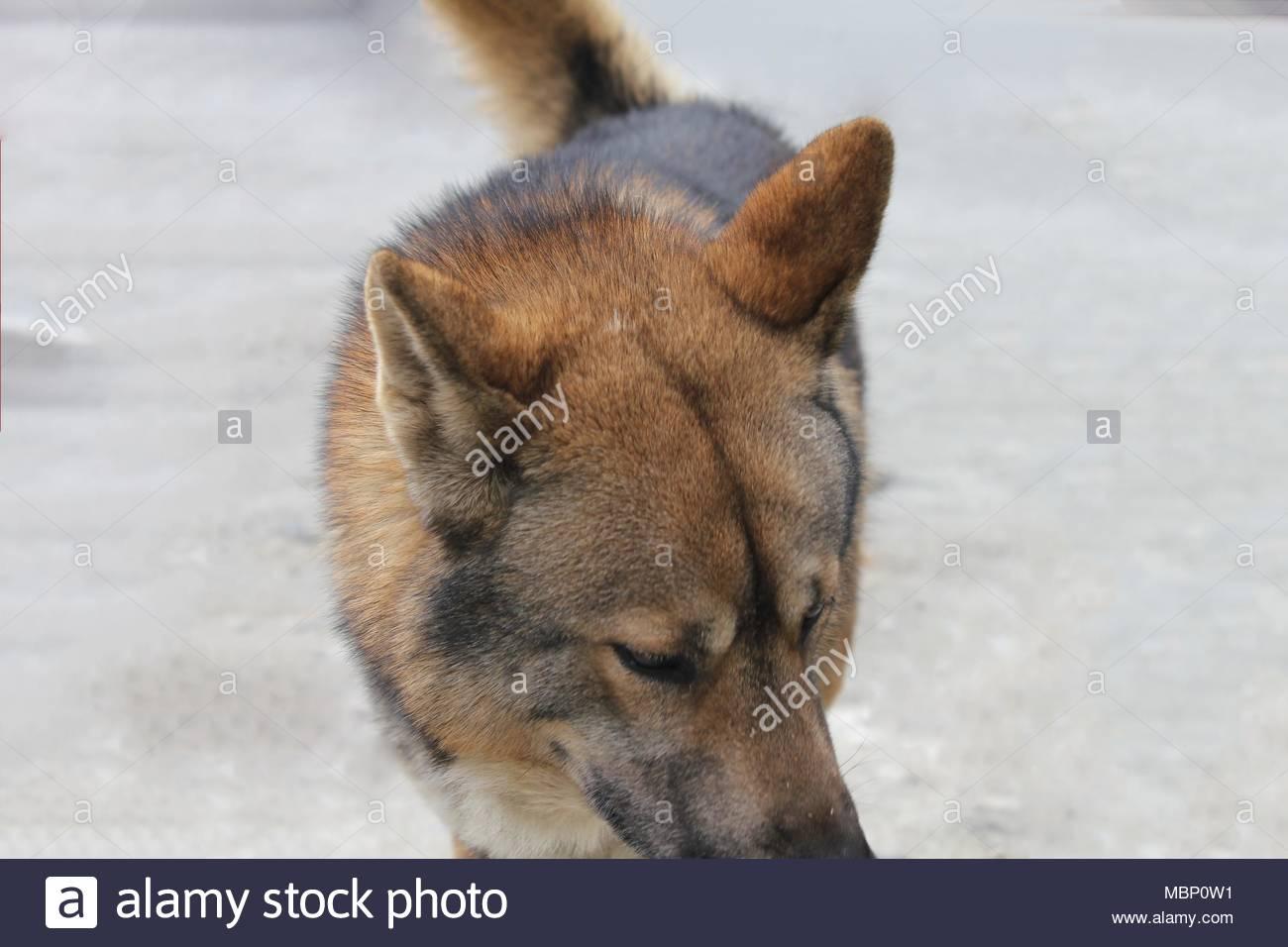 Stray dog in SaPa, Vietnam. - Stock Image