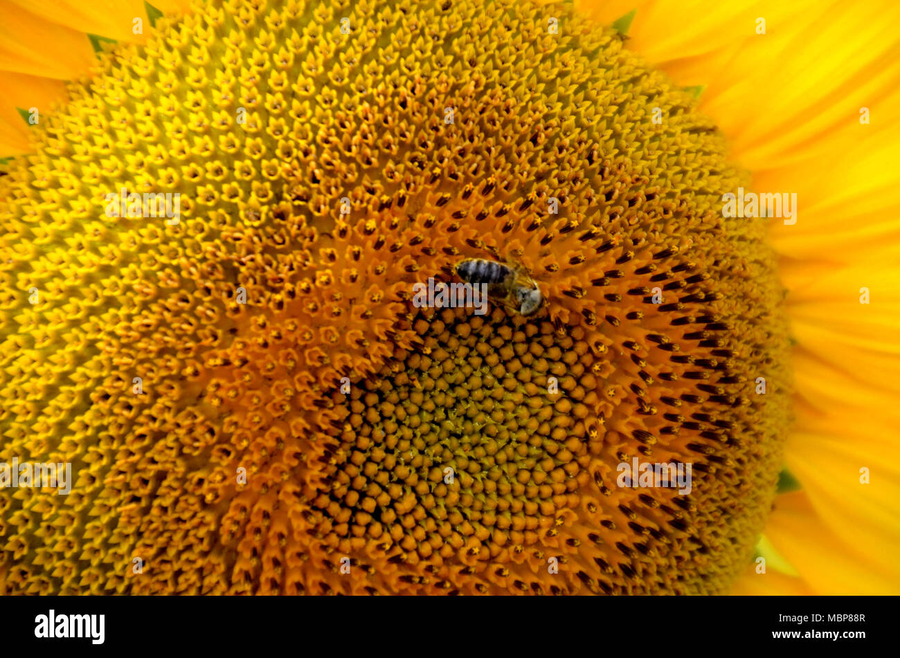 close up of a big yellow sunflower with a bee and petals, can be used as texture or background - Stock Image
