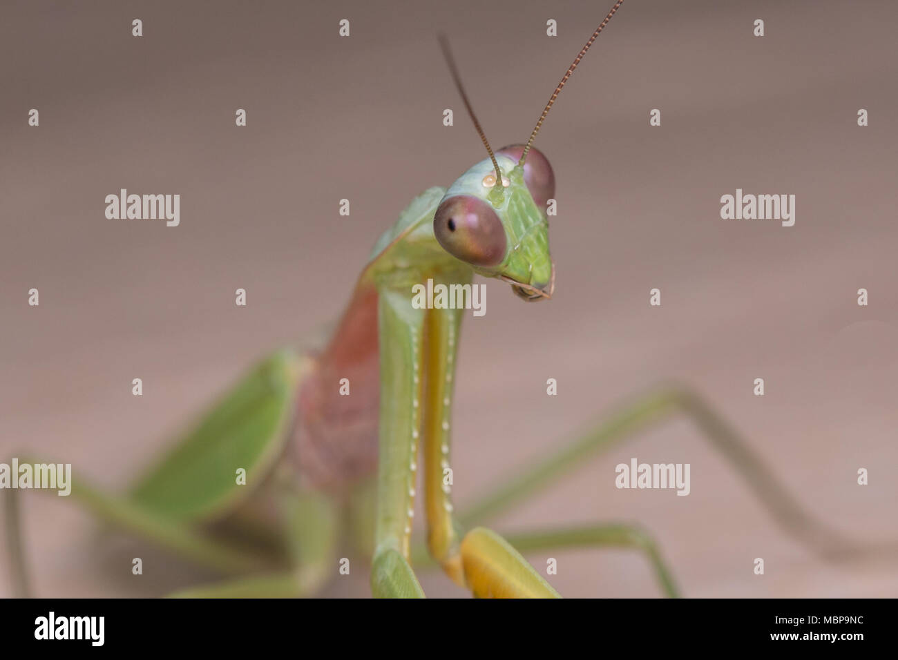 Mantis of Borneo , Close-Up Mantis - Stock Image