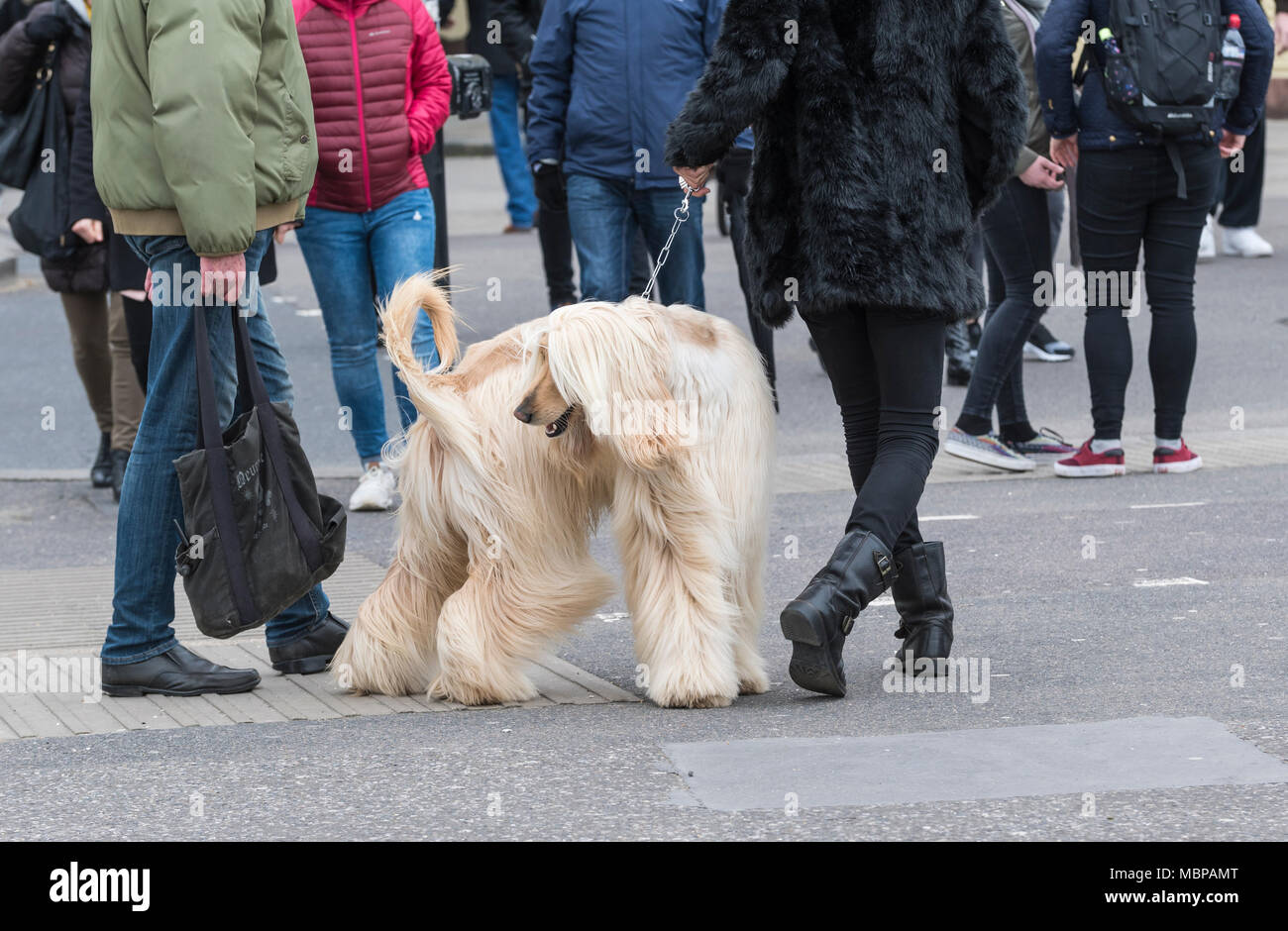 Afghan Hound dog being walked on a lead across a road in a town in the UK. - Stock Image
