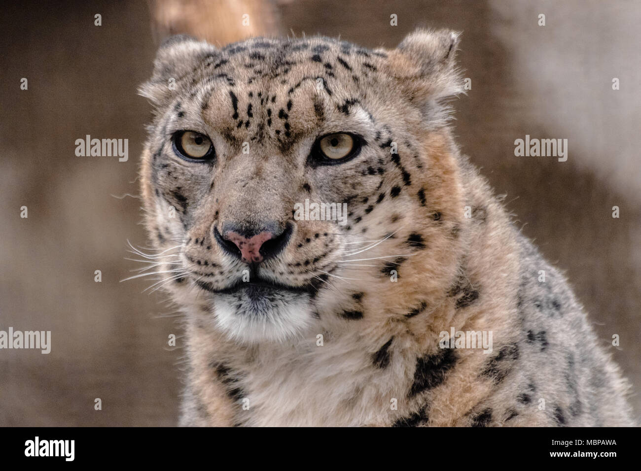 Snow leopard or ounce (Panthera uncia), looking at you - Stock Image