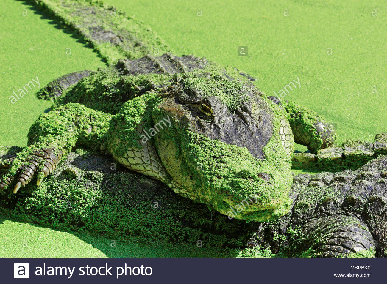 Mississippi alligator (Alligator mississippiensis) also known as American alligator, Everglades, Florida, USA - Stock Image