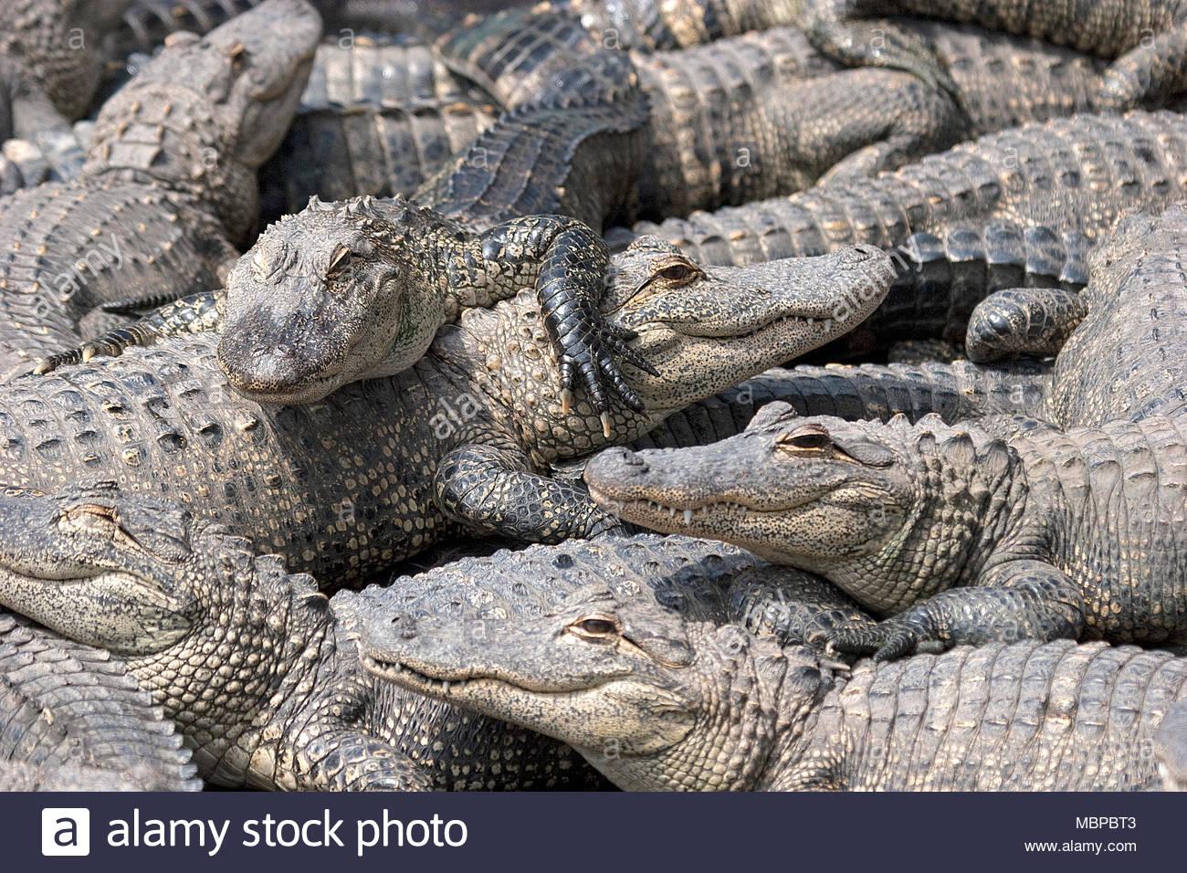 Mississippi alligator (Alligator mississippiensis), group, juvenile, Everglades, Florida, USA Stock Photo