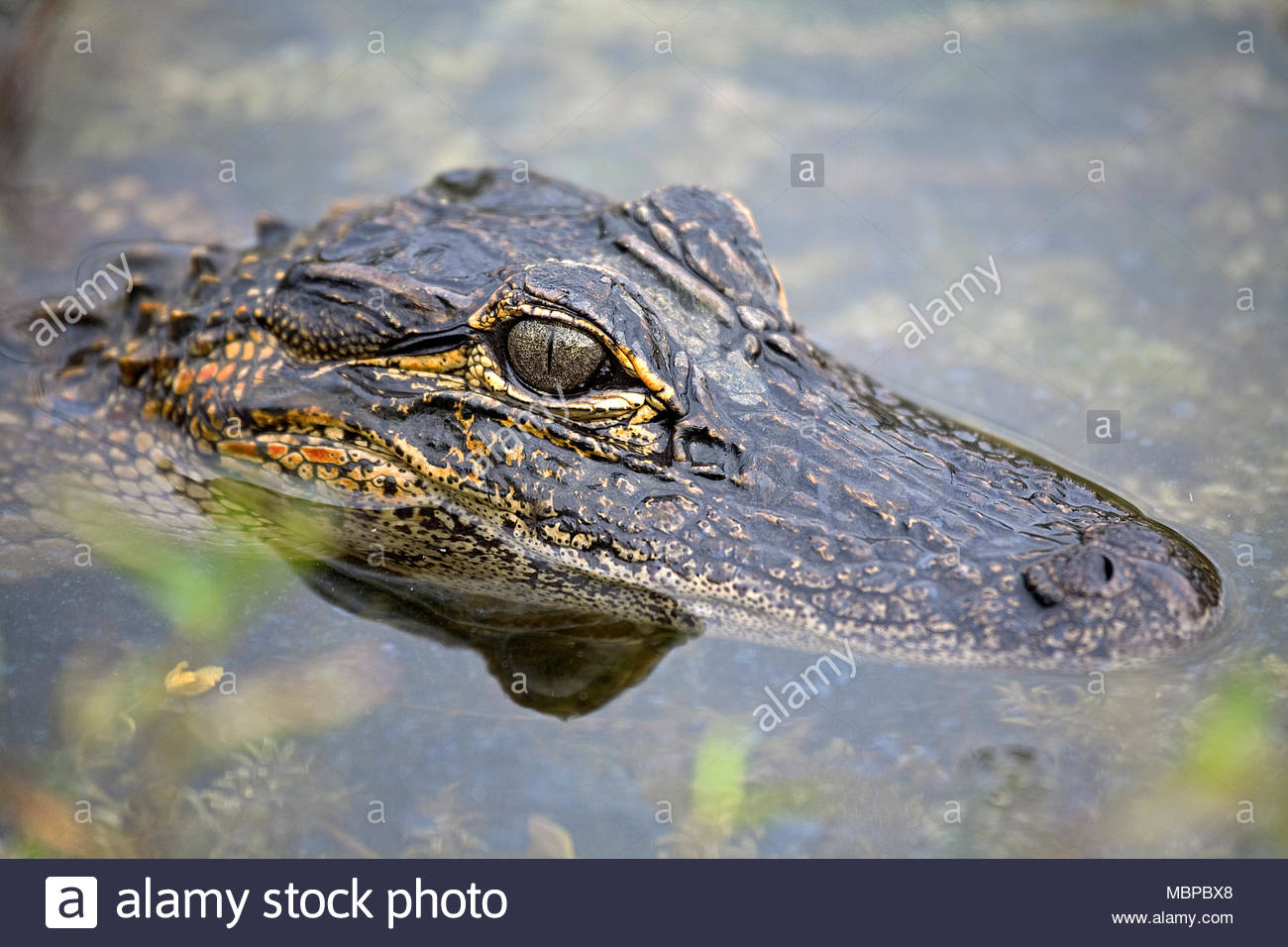 Mississippi alligator (Alligator mississippiensis), juvenile, head, Everglades, Florida, USA - Stock Image