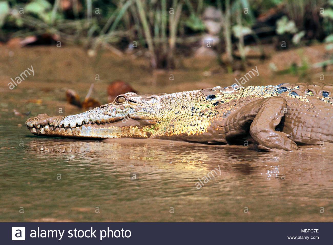 Saltwater Crocodile (Crocodylus porosus), Borneo, Malaysia - Stock Image