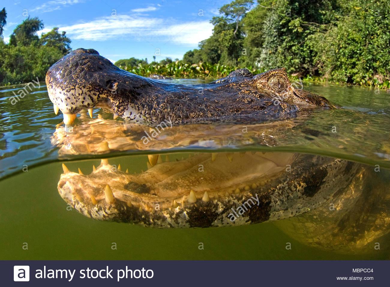 Yacare Caiman (Caiman yacare), split image, Mato Grosso do Sul, Pantanal, Brazil - Stock Image