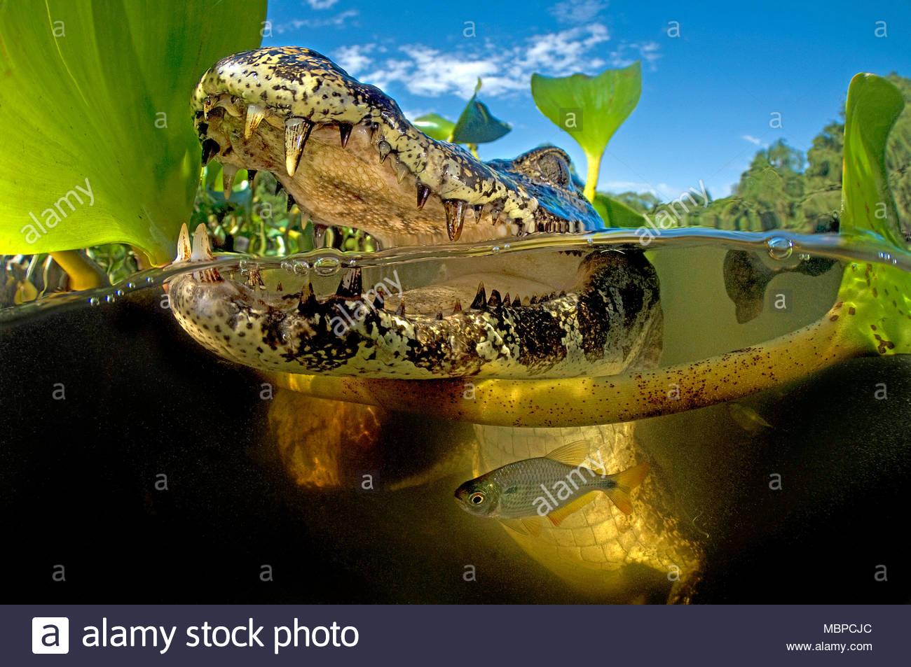 Yacare Caiman (Caiman yacare), split image, Mato Grosso do Sul, Pantanal, Brazil Stock Photo