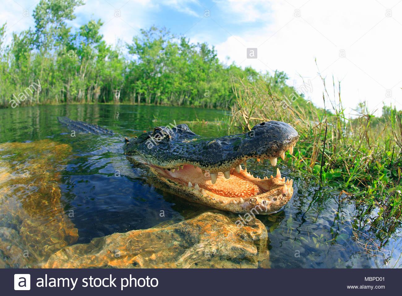 Mississippi alligator (Alligator mississippiensis) also known as American alligator, mouth open, Everglades, Florida, USA Stock Photo