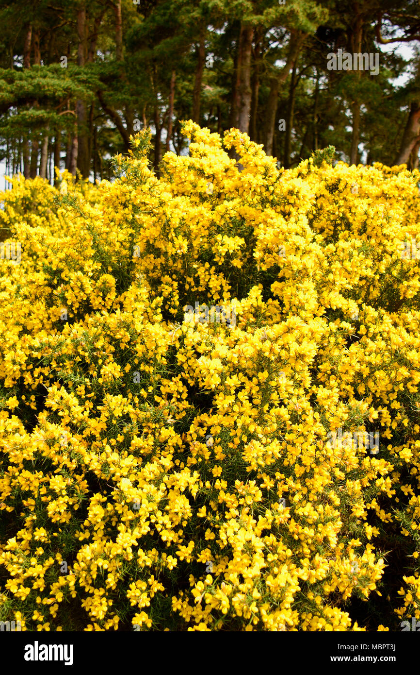 Yellow Flowered Bush Stock Photos Yellow Flowered Bush Stock