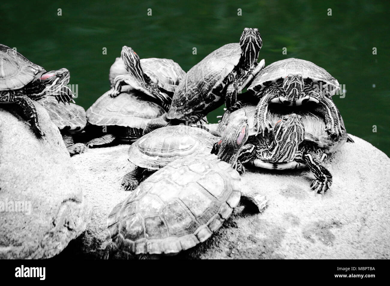Turtles on a rock at the Hong Kong Park, Hong Kong, SAR of China - Stock Image