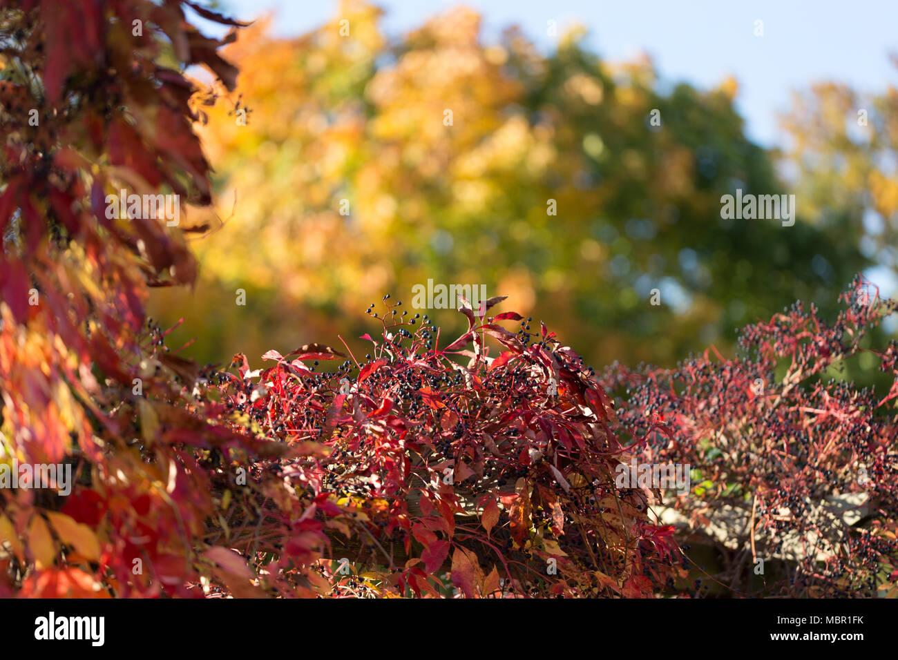 Das Herbstlaub, so bunt und schön wie ein Altweibersommer nur sein kann, wird von der Sonne beschienen. - Stock Image