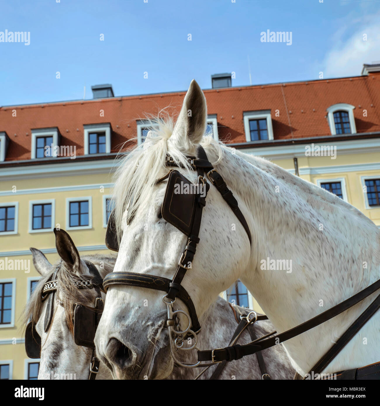 White harnessed to a leather harness horse on the street of an old