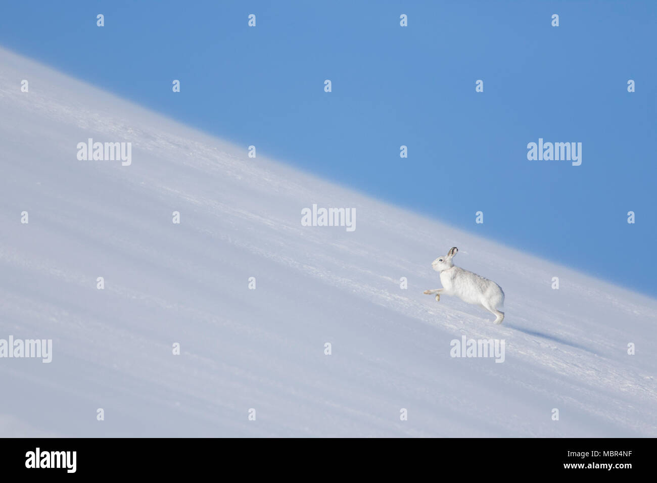 Mountain hare / Alpine hare / snow hare (Lepus timidus) in winter pelage running in the snow uphill - Stock Image