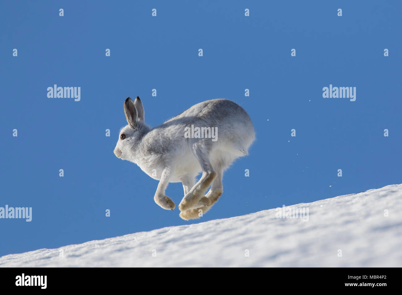 Mountain hare / Alpine hare / snow hare (Lepus timidus) in winter pelage running in the snow down mountain slope - Stock Image