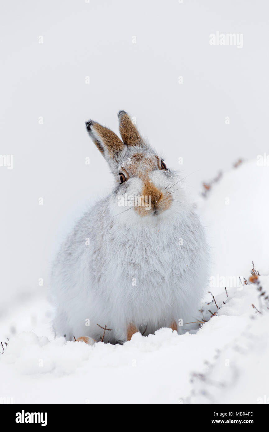 Mountain hare / Alpine hare / snow hare (Lepus timidus) in white winter pelage siting in the snow - Stock Image