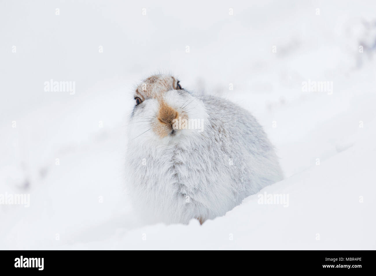 Mountain hare / Alpine hare / snow hare (Lepus timidus) in white winter pelage resting in the snow with flattened ears - Stock Image