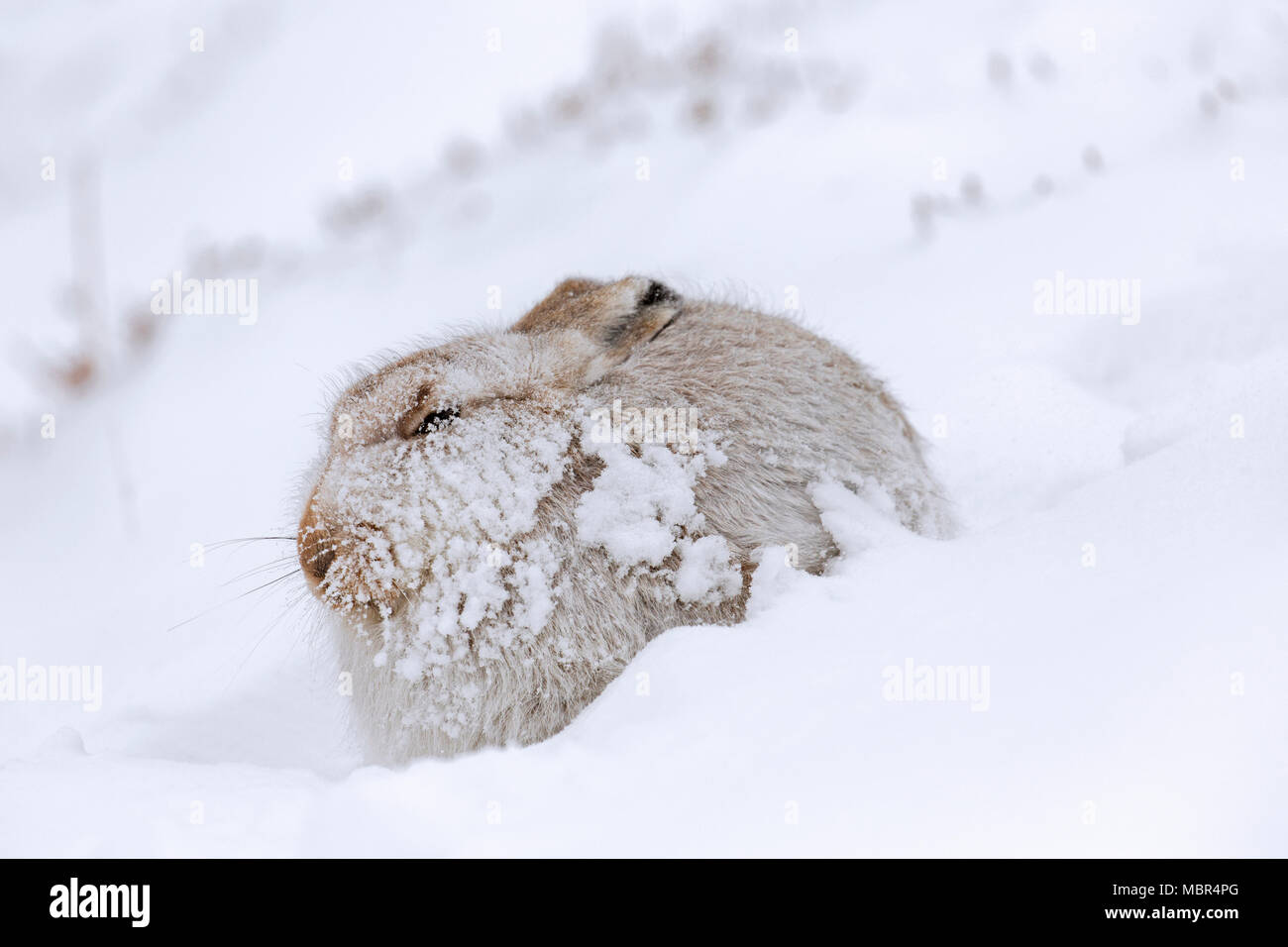 Mountain hare / Alpine hare / snow hare (Lepus timidus) in white winter pelage resting on hillside during snowstorm - Stock Image