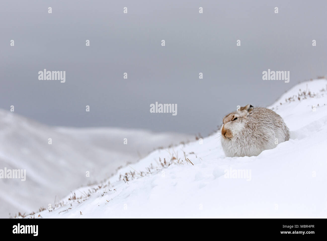 Mountain hare / Alpine hare / snow hare (Lepus timidus) in white winter pelage resting during snowstorm in the Scottish Highlands, Scotland, UK - Stock Image