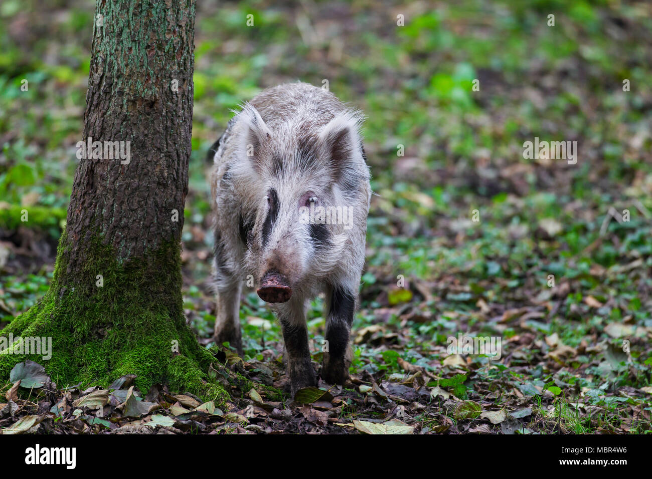 Spotted wild boar (Sus scrofa) brindled piglet foraging in autumn forest - Stock Image
