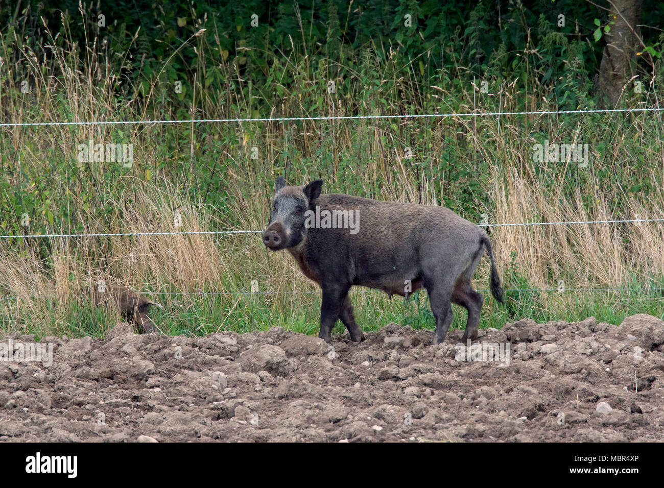 Wild boar (Sus scrofa) sow standing in ploughed field next to electric fence to keep wildlife out Stock Photo