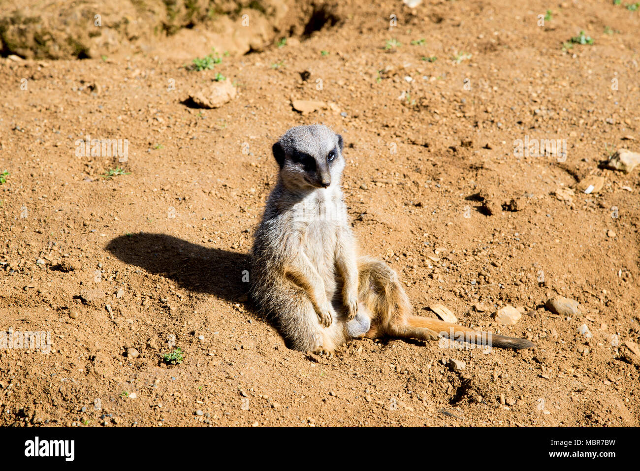 Meerkat sits and looks around - funny animal - Beale Park United Kingdom - 25.03.2017 - Stock Image