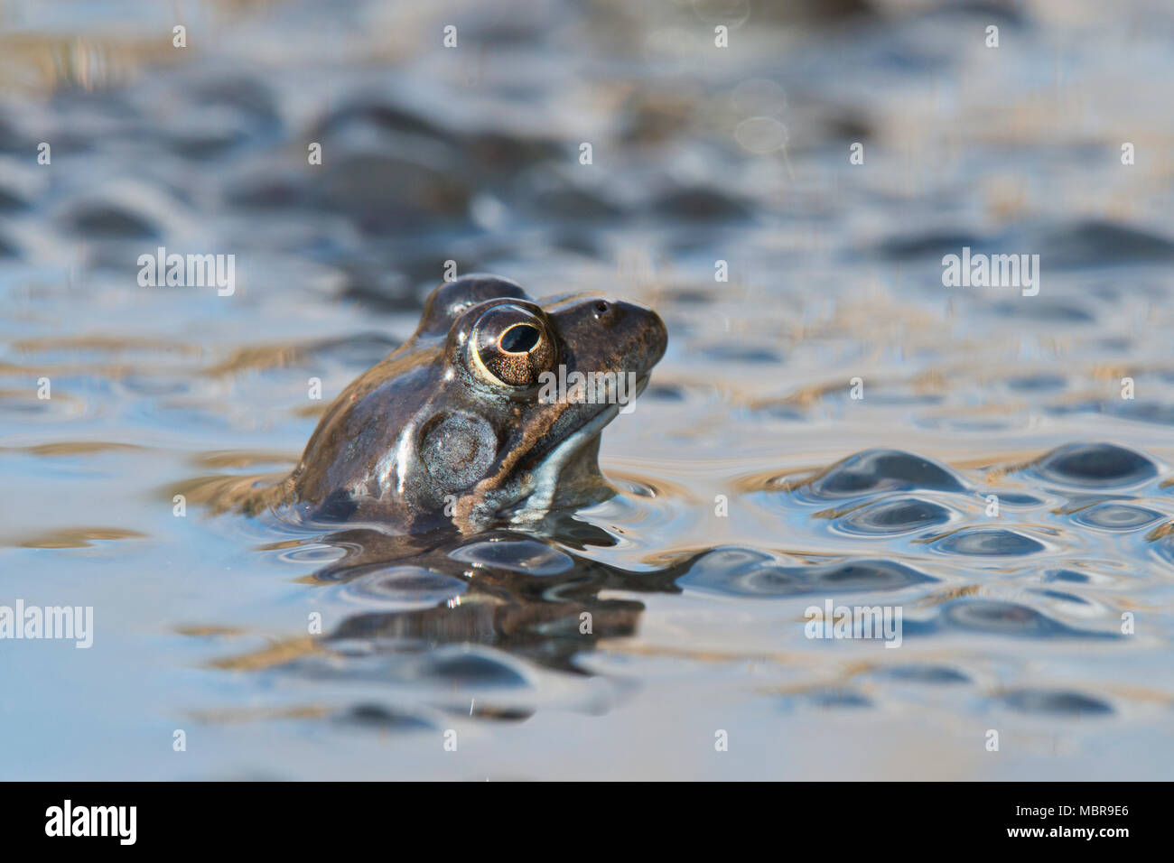Common frog (Rana temporaria) spawning in waters, Emsland, Lower Saxony, Germany - Stock Image