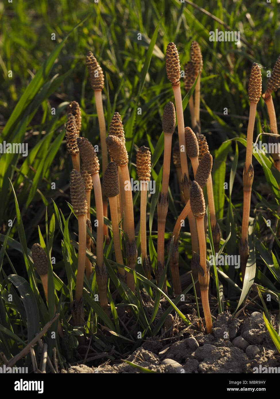 Equisetum arvense, the field horsetail or common horsetail, is an herbaceous perennial plant in the Equisetopsida Stock Photo