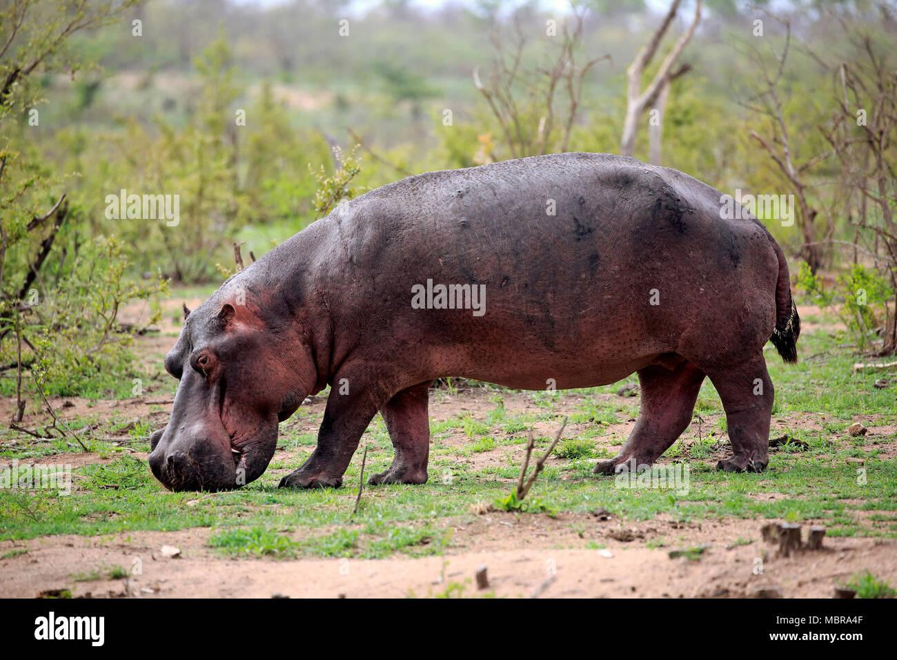 Hippo (Hippopotamus amphibius), adult, eats fresh grass, foraging, Sabi Sand Game Reserve, Kruger National Park, South Africa - Stock Image