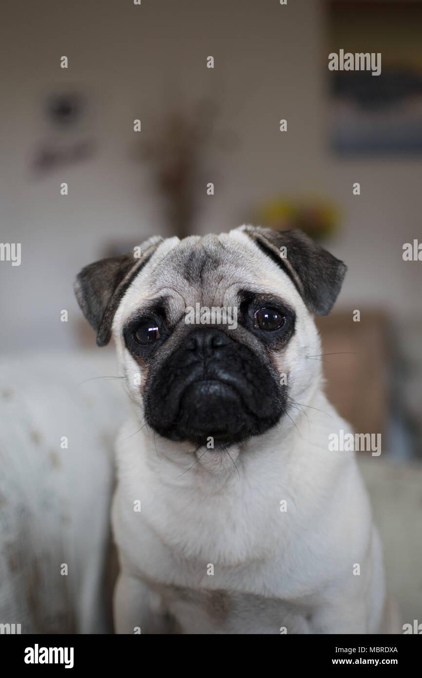 Cute Pup puppy looking upwards with big sad eyes - Stock Image