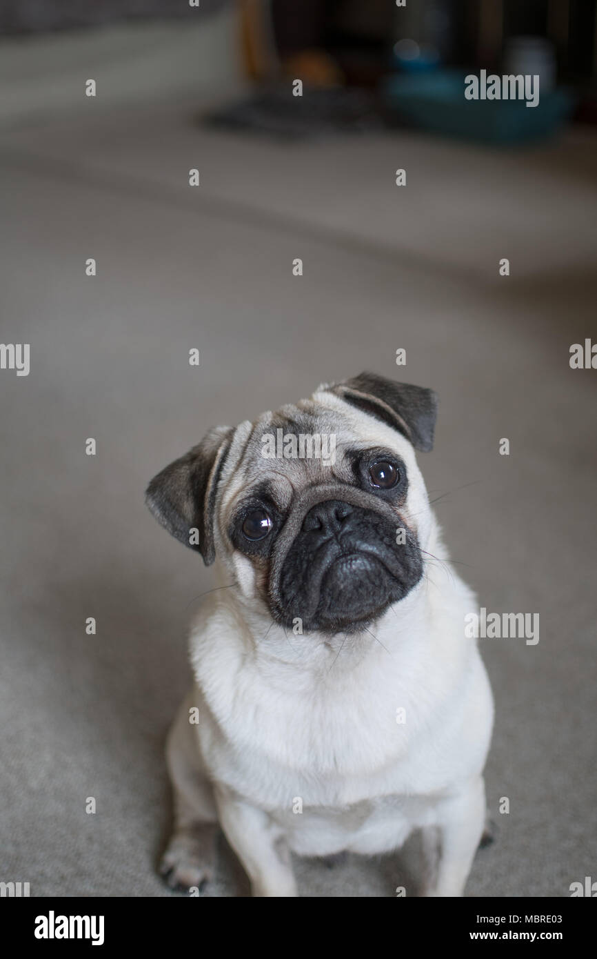 Cute Pup puppy looking upwards with big sad eyes Stock Photo