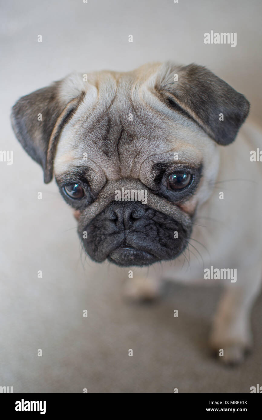 Cute Pup puppy looking downwards and folorn with big sad eyes Stock Photo