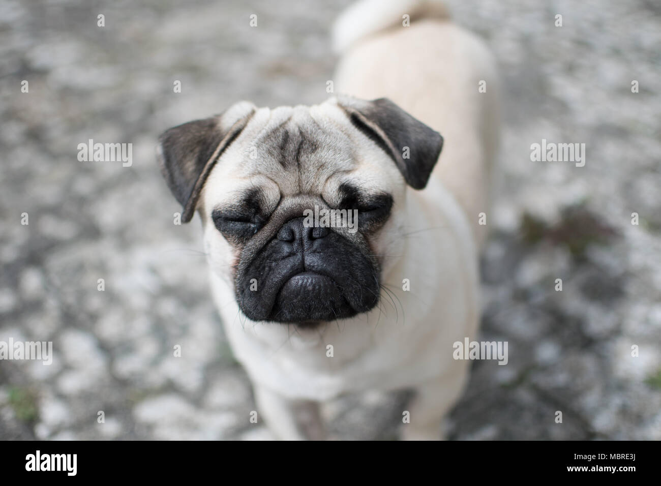 Titan the boy Pug puppy looking upwards with his eyes closed Stock Photo