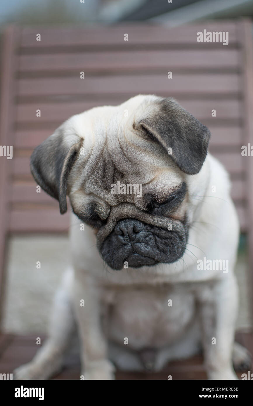 Cute Pup puppy looking downwards and folorn with big sad eyes - Stock Image