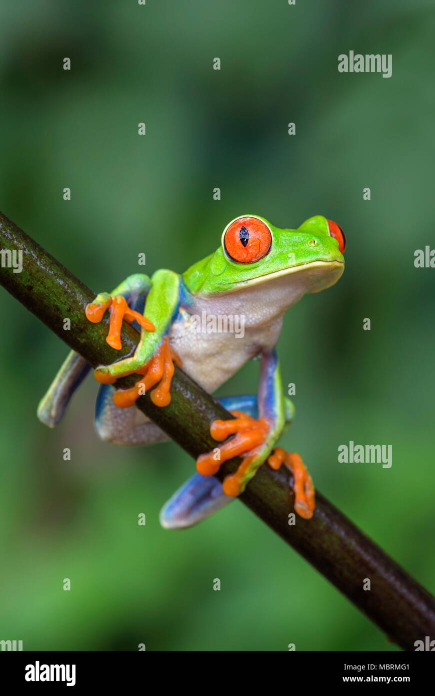 Red-eyed Tree Frog - Agalychnis callidryas, beautiful colorful from iconic to Central America forests, Costa Rica. Stock Photo