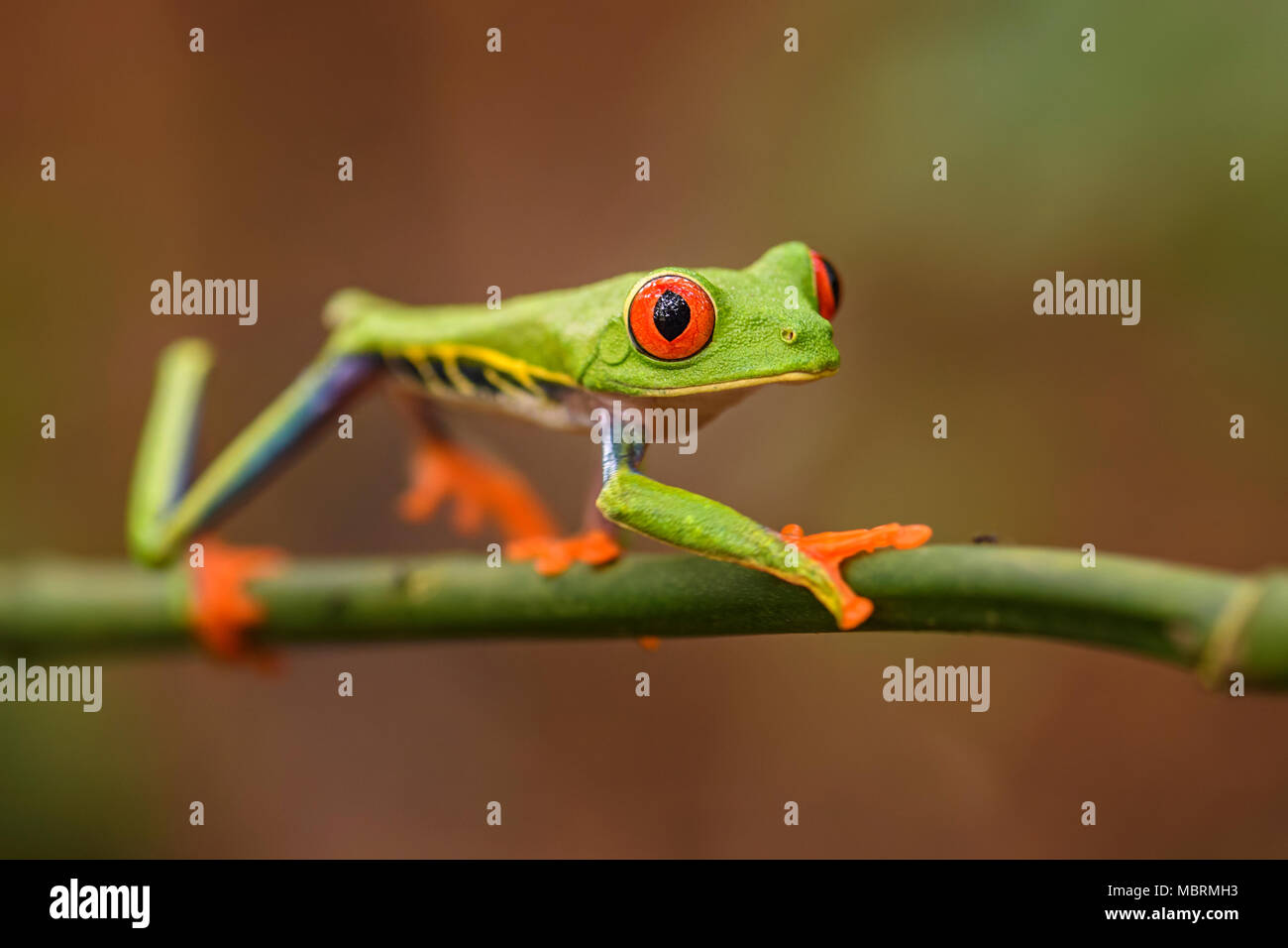Red-eyed Tree Frog - Agalychnis callidryas, beautiful colorful from iconic to Central America forests, Costa Rica. - Stock Image