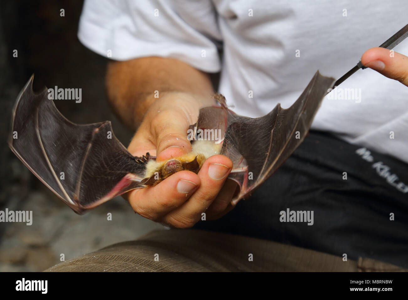 Scientist examining bats in Albanian bunker in the area of Korab Koritnik Nature Park in Albania - Stock Image