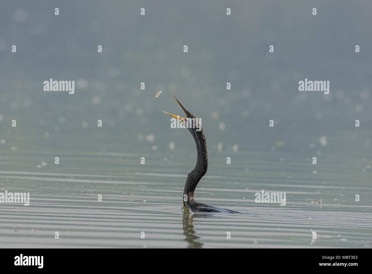 Darter or Snakebird ( Anhingidae ) Tossing Fish. - Stock Image