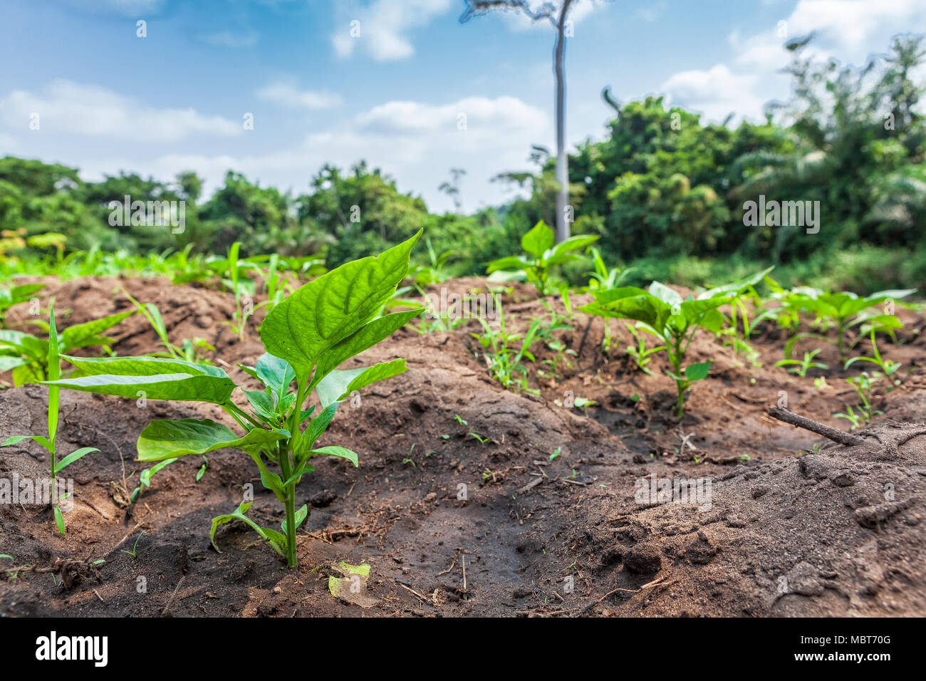 Rural plantation in the middle of the cabinda jungle, close view. Angola, Africa. - Stock Image