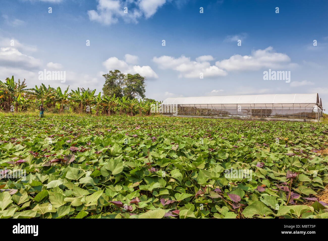 Greenhouse in African plantation, Cabinda. Angola. - Stock Image