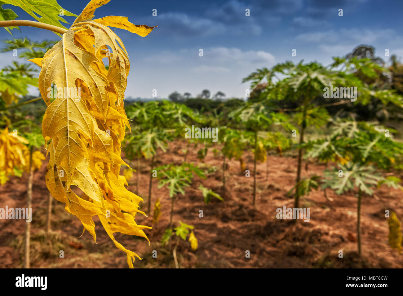 Dry and yellow leaf in agriculture field. - Stock Image