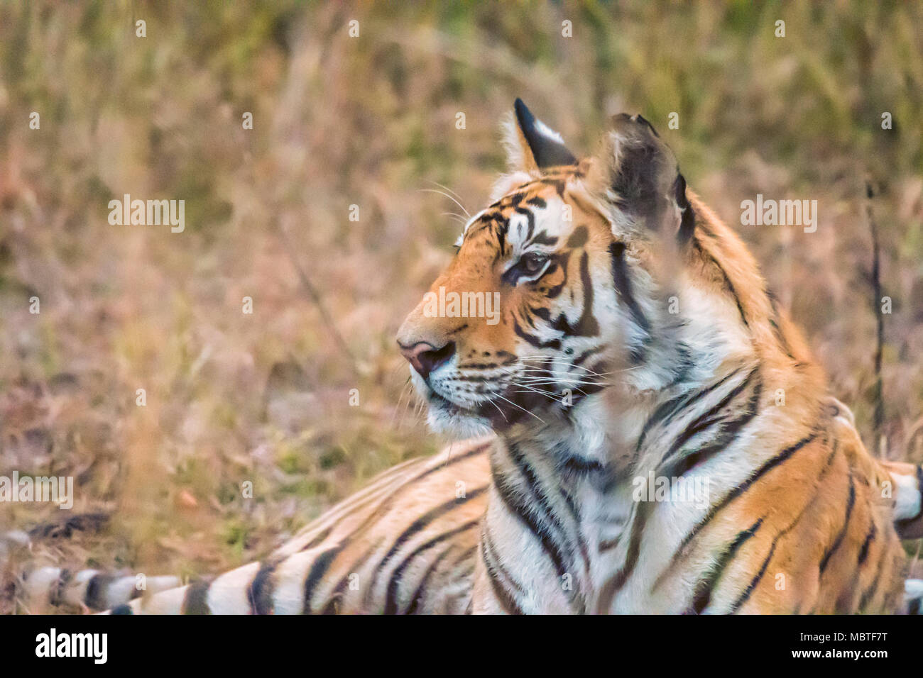 Side view close-up portrait of a two year old male Bengal Tiger, Panthera tigris tigris, Bandhavgarh Tiger Reserve, Madhya Pradesh, India - Stock Image