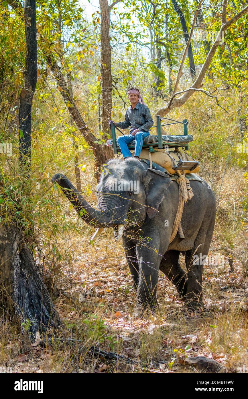 Mahout on an Asian, or Indian Elephant, Bandhavgarh National Park, Tala, Madhya Pradesh, India - Stock Image